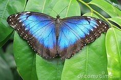 Ah, the blue morpho...  Butterfly Stock Photos - Search Results