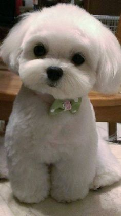 Fantastic No Cost dogs and puppies shih tzu Strategies Accomplish you care about your pet dog? Appropriate doggy proper care in additi Cute Dogs And Puppies, Little Puppies, Baby Dogs, Little Dogs, Pet Dogs, Doggies, Puppies Puppies, Cute Funny Animals, Cute Baby Animals