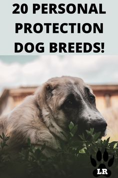 But the question is, which are the Best Guard Dog Breeds? Well, we have 20 of the best guard dogs that we think will stop at nothing to protect you and your family! #GuardDogs #Breeds #Best #Scary #Tibetan Mastiff #Training #Family #GermanShepherd #GreatPyrenees #Big #Doberman #Pitbull #Rottweiler #Names #ForWomen #Webtoon #CaneCorso #DobermanPinscher
