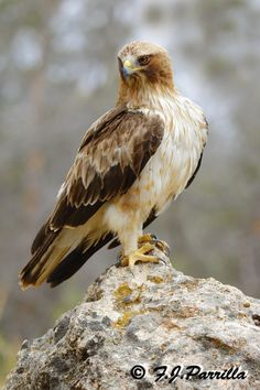 Booted eagle (Hieraaetus pennatus) by Francisco Javier Parrilla