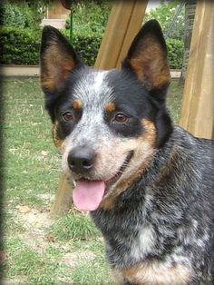 Australian Cattle Dog. These dogs are amazing. Miss you Emily :(