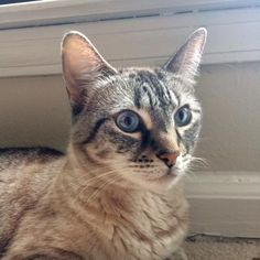 Basha is an adoptable Domestic Short Hair searching for a forever family near Decatur, GA. Use Petfinder to find adoptable pets in your area.