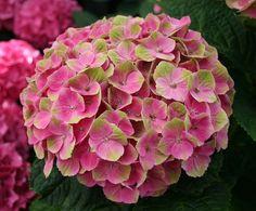 Hydrangea macrophylla 'Magical Amethyst' Sehr feste rosa farbene Blüten mit grüner Zeichnung, im Verlauf der Blütenphase werden die Blüten grün, unter günstigen Bed. färben sie im Herbst in rot. Blüte: Ball Blütenfarbe: Rosa Höhe: 1,0 m bis 1,5 m Breite: 1,0 m bis 1,5 m Schnittverträglichkeit: im Frühj. nur alte Blüten und trockenes Holz entfern, Sommerschnitt Mitte Juni bis Mitte Juli zu Knospenbildung Blütezeit: Juni, Juli, August, September, Oktober pH-Wert: sauer - neutral Winterhärte…