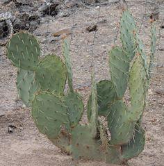 opuntia engelmannii var linguiformis opuntia pinterest cactus suculentas y crasas. Black Bedroom Furniture Sets. Home Design Ideas