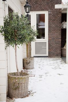 Olive trees in a basket Garden Inspiration, Front Yard, Home And Garden, Paint Colors For Living Room, Olive Tree, Outdoor Living, Garden Planning