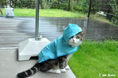 Rain rain, go away. Maru needs a box to play! Maru in a raincoat! I Love Cats, Cute Cats, Funny Cats, Pretty Cats, Crazy Cat Lady, Crazy Cats, 15 Dogs, Types Of Cats, Photo Chat