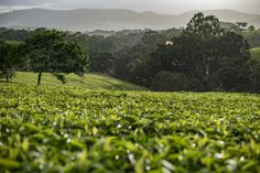 This is a tea estate in the Tholo district of Southern Malawi, just round the corner from us. Its a great day out at the tea estates and sampling some of Africa's finest tea. High tea is served at Huntington House. Mmmmm perfect.