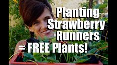 Planting Strawberry Runners in Strawberry Crate Towers - Endless Supply ...
