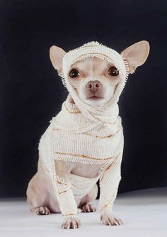 And then there's this beast-like mummy, casually coming back from death only to haunt our dreams: 17 DIY Pet Halloween Costumes That Will Frighten The Neighbors Costume Halloween, Chihuahua Halloween Costumes, Diy Dog Costumes, Pirate Costumes, Costume Ideas, Children Costumes, Chien Halloween, Halloween Cat, Halloween Stuff
