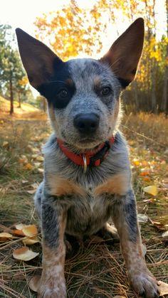 Beautiful Blue Heeler pup