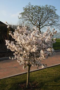 This white flowering cherry tree 'The Bride' is perfect for a smaller garden because the pure white double flowering blossoms last very well...