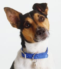Kuva sivustosta http://cache3.asset-cache.net/gc/75376444-headshot-of-jack-russell-terrier-with-one-ear-gettyimages.jpg?v=1&c=IWSAsset&k=2&d=802Z0x2p1wnjYyJEa0ua0curXK8xJxPdQwlwjuSS8QY%3D.