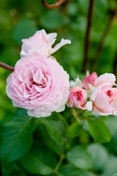 David Austin, Pink Lady, Austin Rosen, James Galway, Pink Flowers, Peonies, Plants, Roses, Sweetie Belle