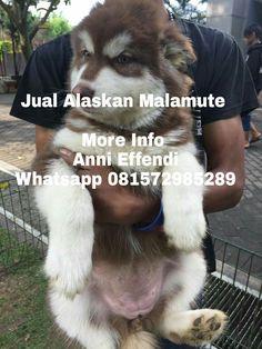 Jual Alaskan Malamute  Female, Male Stamboom, Vaksin Obat cacing done  DOB 28/5/2017  More Info  Anni Effendi Whatsapp 081572985289