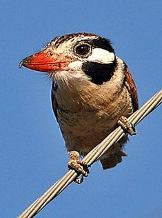 White-eared Puffbird can often be approached and is for that reason called João Bobo (Crazy John) by Brazilian birdwatchers (Tommy Ekmark)