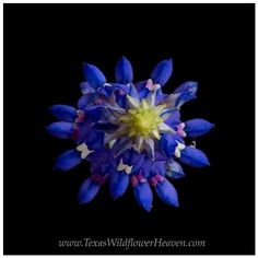 This spring is not shaping up to be a great wildflower season, but there is still beauty to be found. This is a bluebonnet from the top. I used a black screen and photoshop to isolate this amazing flower, and I love the symmetry with this view. Have a good week, everyone!  https://www.facebook.com/photo.php?fbid=  497781553620190=a.271017969629884.69  054.270161639715517=1