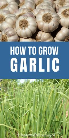Wanna learn how to grow garlic? Why would anyone want to grow garlic when it's right there at the store? There are more reasons than you might think. Grow Garlic, Garlic Seeds, Organic Gardening, Gardening Tips, Flower Gardening, Vegetable Garden Planning, Vegetable Gardening, Cherry Limeade Recipe, Garlic Flower