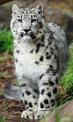 ~~ Snow Leopard ~~ Nature Animals, Baby Animals, Animals And Pets, Cute Animals, Wild Animals, Gepard Leopard, Baby Snow Leopard, Leopard Spots, Cats And Kittens