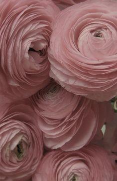 ionwkathy:    berengia:    beautiful ranunculus    (via imgTumble)