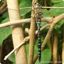 How to attract dragonflies to your garden. They eat Mosquitos and are beautiful!