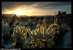 Cholla Cactus garden at sunrise. Joshua Tree National Park