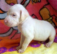 white great dane puppy