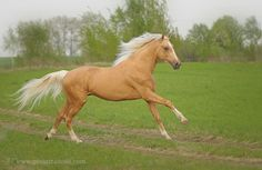 Palomino Horses... this is the horse I dreamed of having when I was young...http://www.facebook.com/cowboymagic