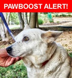 Is this your lost pet? Found in San Antonio, TX 78216. Please spread the word so we can find the owner!  White and some light beige.  approx. 3 yrs old and 30 lb.  Corgi mix.  Friendly but with some reservation.  Near Patricia Dr & Blanco Rd