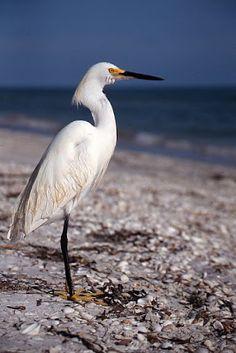 Snowy Egret- Sanibel Island Florida