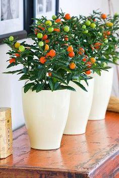 Solanum pseudocapsicum - cerisier de jérusalem
