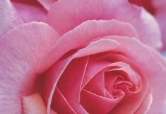 Как сделать розовую воду