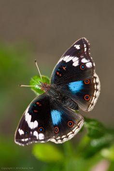 Junonia oenone (Dark Blue Pansy)