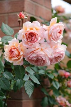 A Shropshire Lad - David Austin English Rose