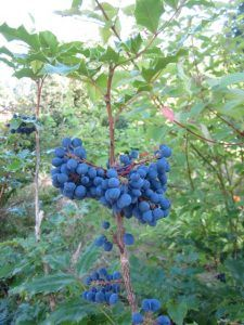Oregon grape | Wildfoodsandmedicines