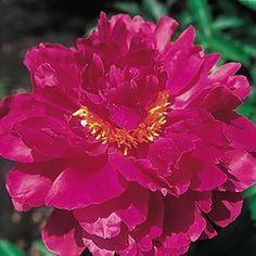 Peony Viking Chief - Hot pink peony - so fragrant! Flamboyant blooms in mid-season. Hardy zones 3-8