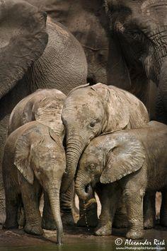 Africa | Elephant kindergarten.  Eastern Cape, South Africa | ©Alexander Riek...
