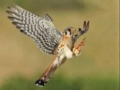 American Kestrel (Falco sparverius) set for landing at nest with grasshopper for hungry chicks. Pretty Birds, Beautiful Birds, American Kestrel, Funny Birds, Bird Wings, Draw On Photos, Small Birds, Colorful Birds, Bird Pictures