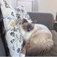Most birmans have been practising all week for Sunday = chillday. Bluepoint Kurt @lejonparden knows just how to do it.  #birmans #birman #sacredbirman #heligbirma #birmania #birmanie #pyhäbirma #instabirmans #birmansofinstagram #blueeyes #whitecats #fluffycats #instacats #catsofinstagram #cats #kittens #instakittens #kittensofinstagram #lovecats #birmavanner #tabbycats #toocute #beautifulcats #excellentcats #tortiecats #cutepetclub #blåmaskad #bluepoint #sundaychill