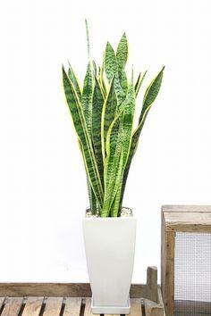 サンスベリア  観葉植物の通信販売   APEGO【アペーゴ】
