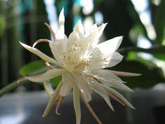 Epiphyllum_pumilum286970600.jpg 1,600×1,200 pixels