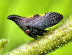 Leaf hopper designed to look like a thorn! Cool Insects, Bugs And Insects, Leafhopper, Cool Bugs, A Bug's Life, Beetle Bug, Beautiful Bugs, Chenille, Tier Fotos