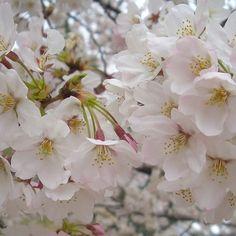 【suirinsui】さんのInstagramをピンしています。 《#過去の写真 #oldphoto #さくら#桜#🌸#cherryblossom #空#sky#青空#bluesky #雲#cloud##木#tree#ピンクの花 #pinkflower #風景#景色#landscape #お写んぽ #お写ん歩 #strolling #花#flower#flowers#春#spring#桜がすき#癒し》