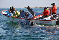 The gray whales are the only friendly whale species that will approach a boat to be touched. Laguna San Ignacio, Baja California Sur, Mexico
