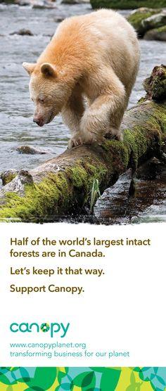 Kermode 'Spirit Bear' from Coastal Temperate Rainforest: The Great Bear Rainforest.