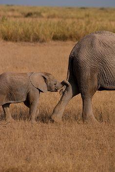 Explicación:  www.youtube.com/watch?v=6Nh49a8q2E4  Elefante en el Parque Nacional Amboseli, Kenia.