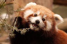 Rode Panda | Dieren | Zoom.nl