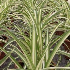 El chlorophytum comosum o cinta tiene la propiedad de limpiar el aire de formaldehído y monóxido de carbono. El monóxido de carbono se produce por la combustión de la madera y el gas que se usan en la calefacción doméstica.