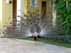 Imagen raro pavo real negro  [11-1-16]