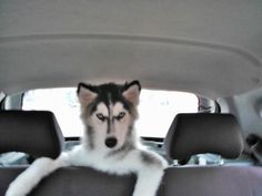 Kenay, Siberian Husky too cute
