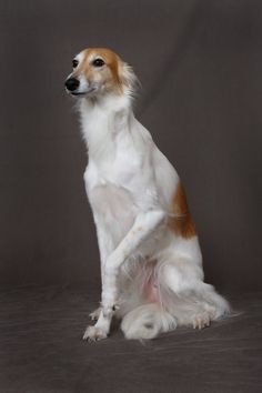 Longhaired Whippet....ohh looks like my bailey